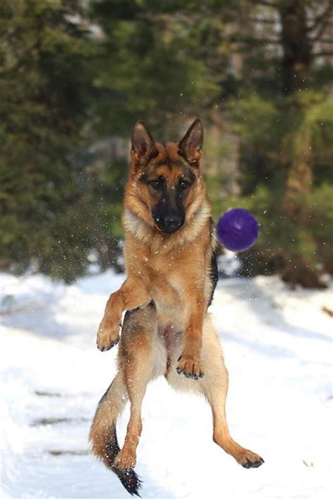 """"""" JERSEY """" playing in the snow"""