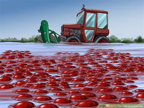 How to Harvest Cranberries: 11 Steps (with Pictures) - wikiHow